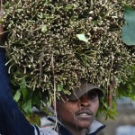 miraa growing and use